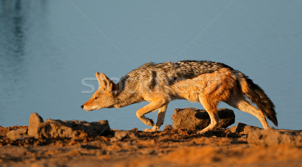 Black-backed Jackal stalking Stock photo © EcoPic