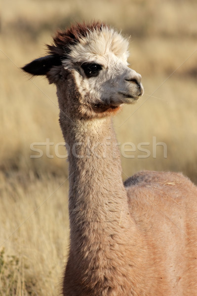 Stock photo: Alpaca (Vicugna pacos)