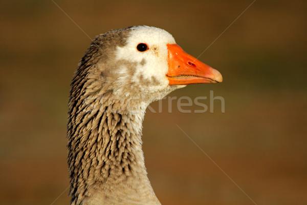 Liba portré háziasított arc fej állat Stock fotó © EcoPic