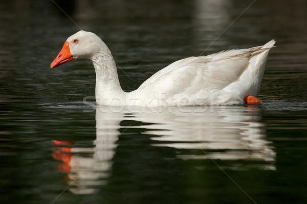 White goose Stock photo © EcoPic