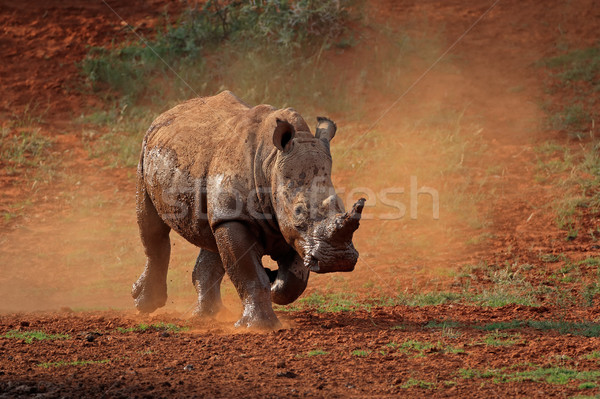 White rhinoceros in dust Stock photo © EcoPic