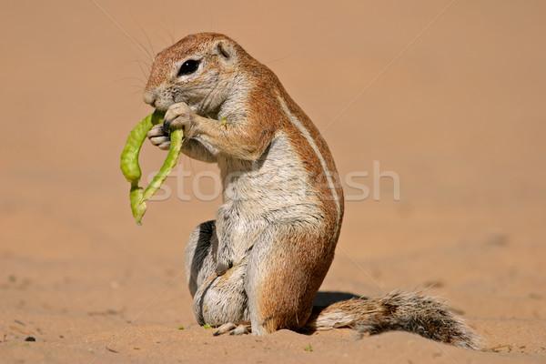 Stock photo: Ground squirrel