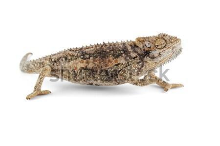 Dwarf chameleon Stock photo © EcoPic