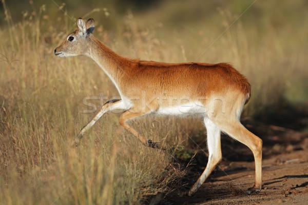 Running red lechwe antelope Stock photo © EcoPic