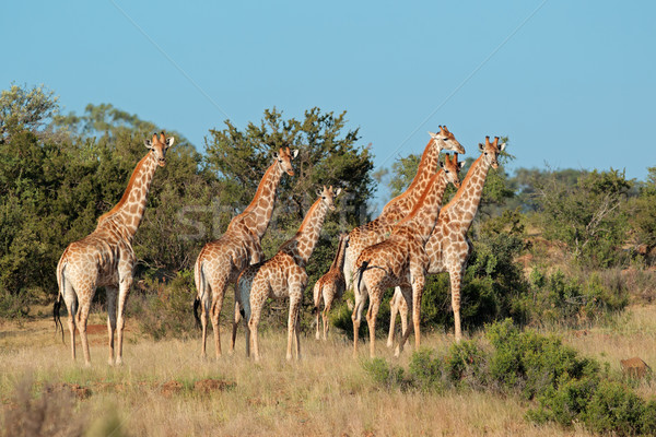 Giraffe kudde klein giraffen natuurlijke leefgebied Stockfoto © EcoPic