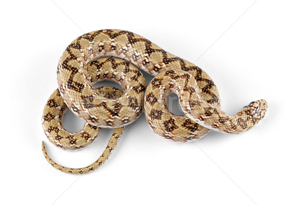 Enano serpiente animales África escalas primer plano Foto stock © EcoPic