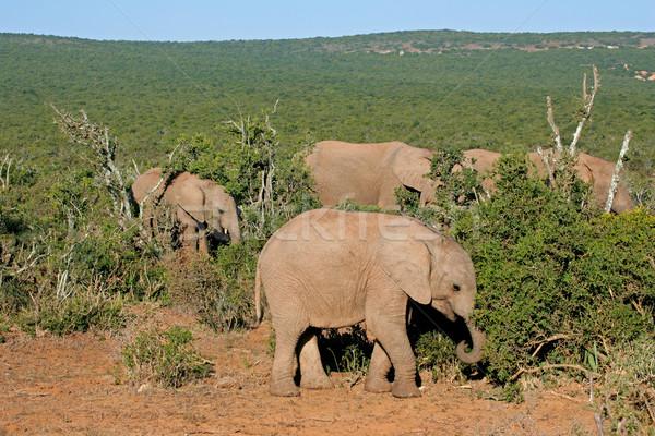 Feeding African elephants Stock photo © EcoPic