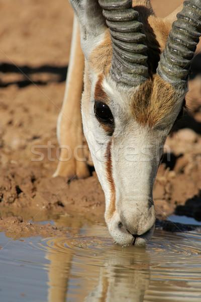 Drinking springbok antelope Stock photo © EcoPic