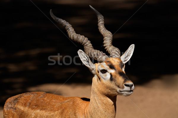 Indian blackbuck Stock photo © EcoPic