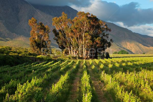 Foto stock: Vinha · paisagem · luxuriante · árvores · fundo · montanhas