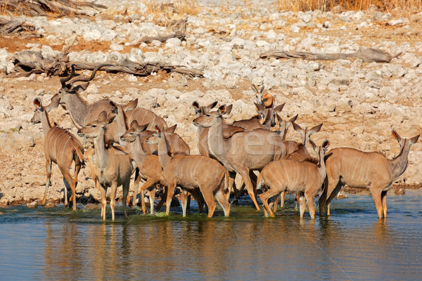 Kudu antelopes drinking Stock photo © EcoPic