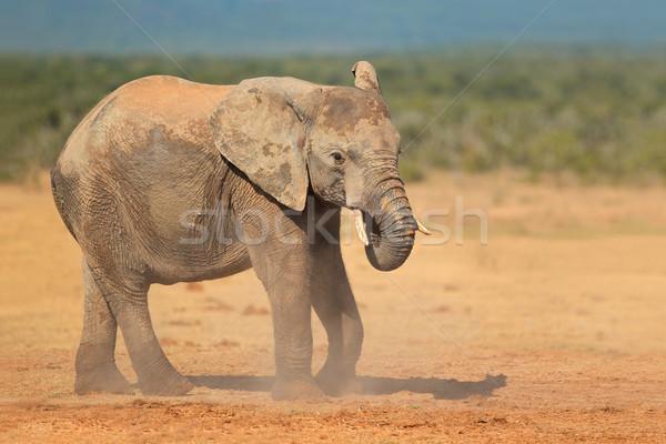 Słoń afrykański pyłu słoń parku Południowej Afryki charakter Zdjęcia stock © EcoPic