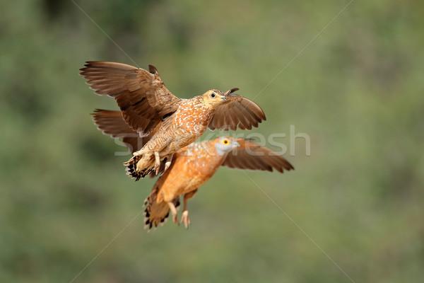 Vlucht woestijn South Africa natuur vogel afrika Stockfoto © EcoPic