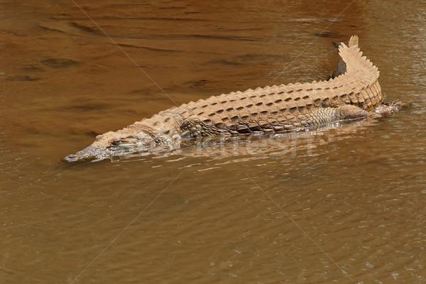 Krokodyla płytki wody parku Południowej Afryki zwierząt Zdjęcia stock © EcoPic