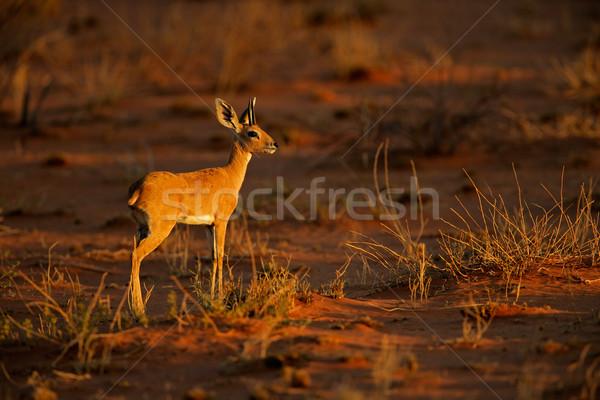 Steenbok antelope Stock photo © EcoPic