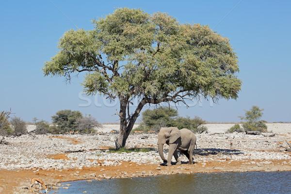 Elefante elefante africano parque Namibia agua árbol Foto stock © EcoPic