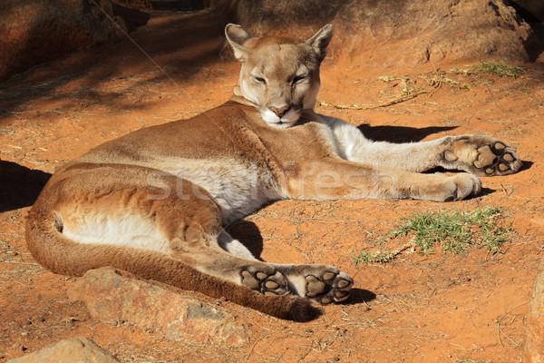 Puma puma puma panter zemin Stok fotoğraf © EcoPic