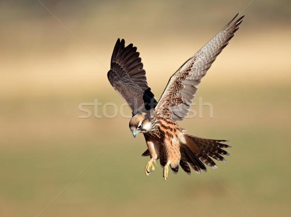 Lanner falcon landing Stock photo © EcoPic