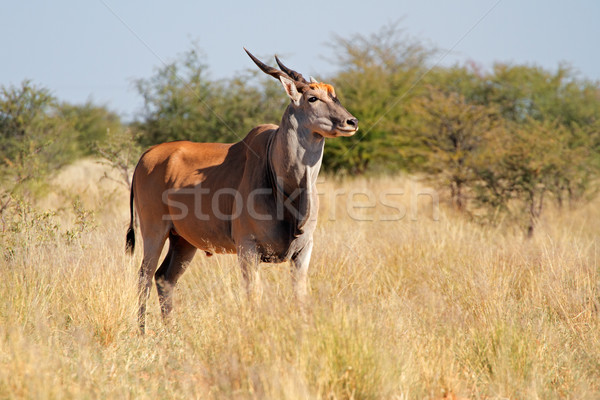 Eland antelope Stock photo © EcoPic