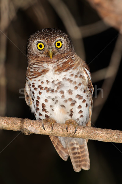 African barred owlet Stock photo © EcoPic