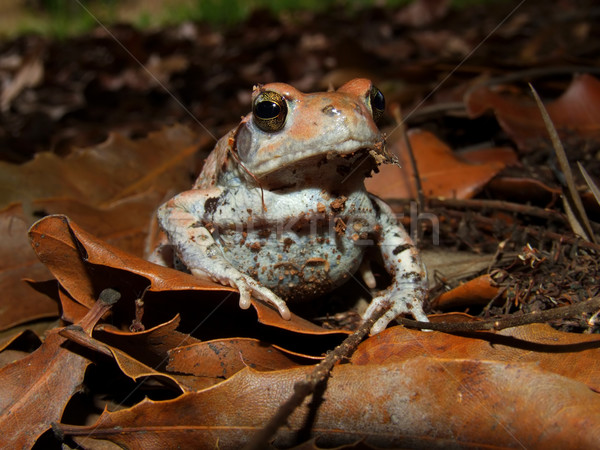 Red toad Stock photo © EcoPic