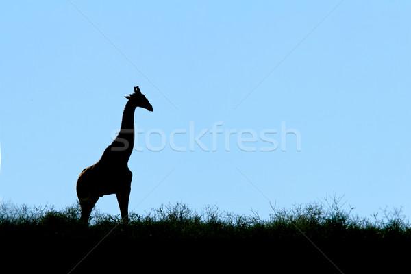 Giraffe silhouette Stock photo © EcoPic