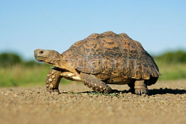 горные черепаха природного среде ЮАР небе Сток-фото © EcoPic