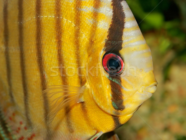 Discus fish Stock photo © EcoPic