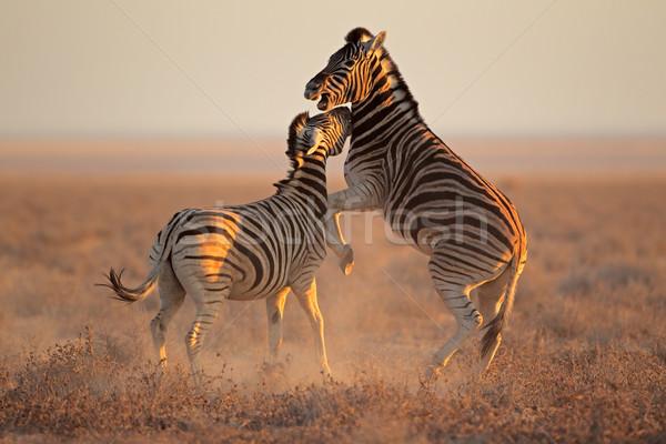 Fighting Zebras Stock photo © EcoPic