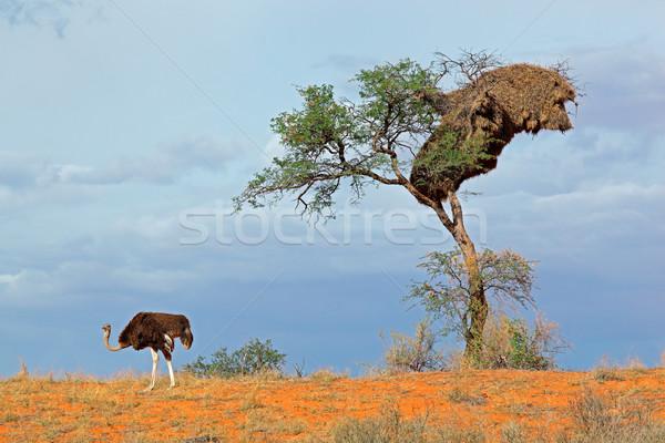 Autruche arbre rouge dune de sable désert Afrique du Sud Photo stock © EcoPic