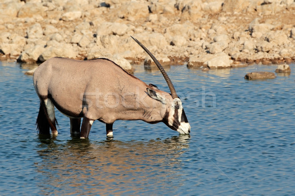 Stock photo: Gemsbok antelope drinking