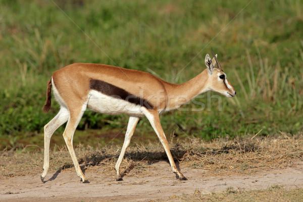 Thomsons gazelle Stock photo © EcoPic
