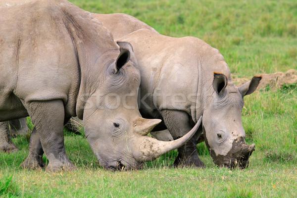 White rhinoceros feeding Stock photo © EcoPic