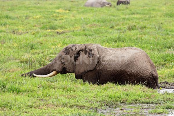African elephant in marshland Stock photo © EcoPic
