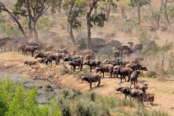 African buffalo herd Stock photo © EcoPic
