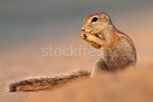 Etetés föld mókus sivatag Dél-Afrika szemek Stock fotó © EcoPic