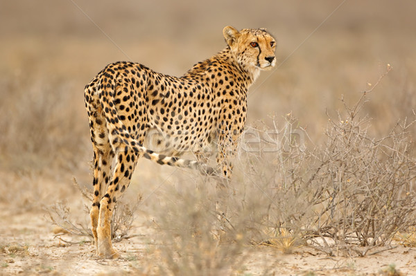 Cheetah in natural habitat Stock photo © EcoPic