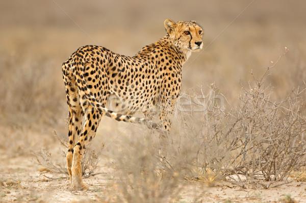 Guépard naturelles habitat désert Afrique du Sud yeux Photo stock © EcoPic