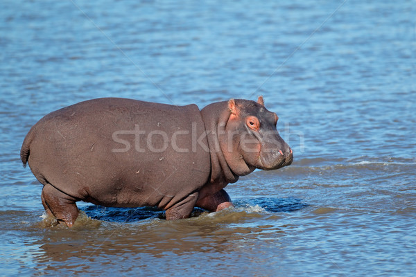 Hippopotamus in water Stock photo © EcoPic