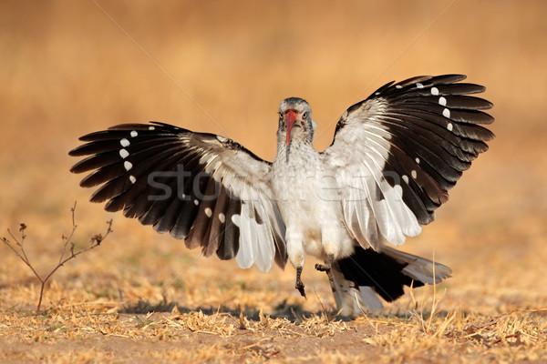 Iniş açmak kanatlar Güney Afrika kuş kırmızı Stok fotoğraf © EcoPic