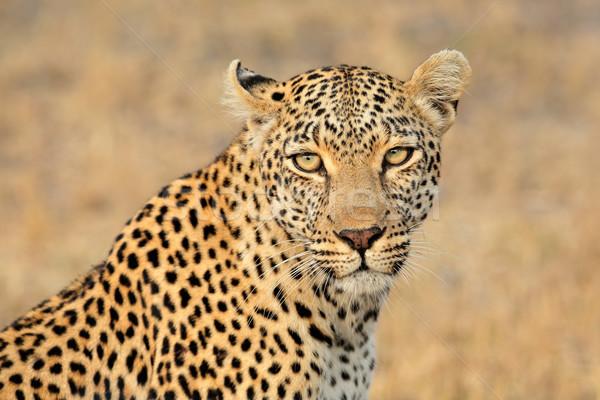 Leopard портрет природы резерв ЮАР глазах Сток-фото © EcoPic