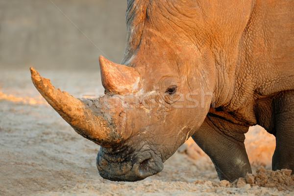 Fehér orrszarvú portré Dél-Afrika állat afrikai Stock fotó © EcoPic