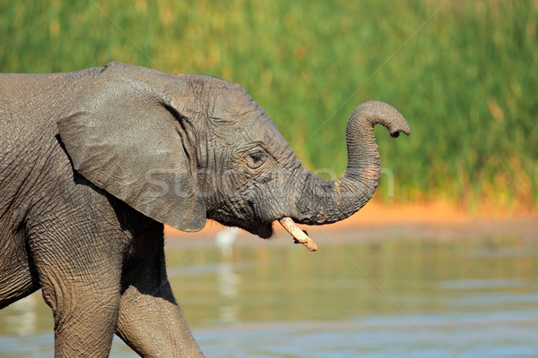 Elephant at waterhole Stock photo © EcoPic
