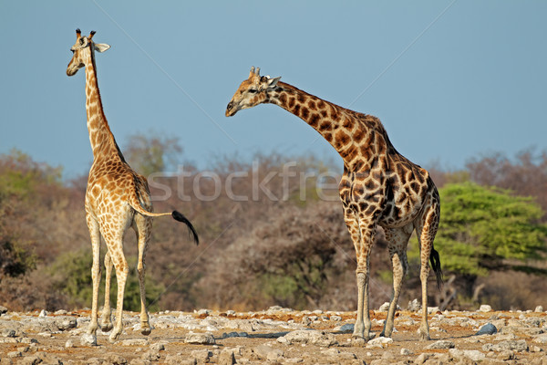 Girafes naturelles habitat parc Namibie ciel Photo stock © EcoPic