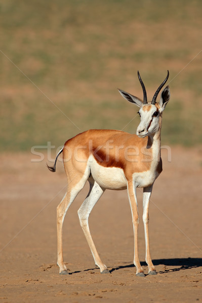 Springbok antelope Stock photo © EcoPic