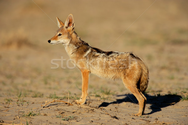 Black-backed Jackal Stock photo © EcoPic