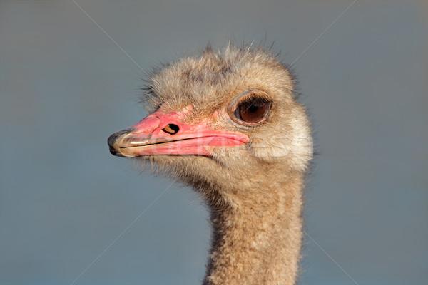 Ostrich portrait Stock photo © EcoPic