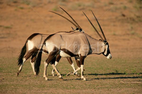 Gemsbok antelopes Stock photo © EcoPic