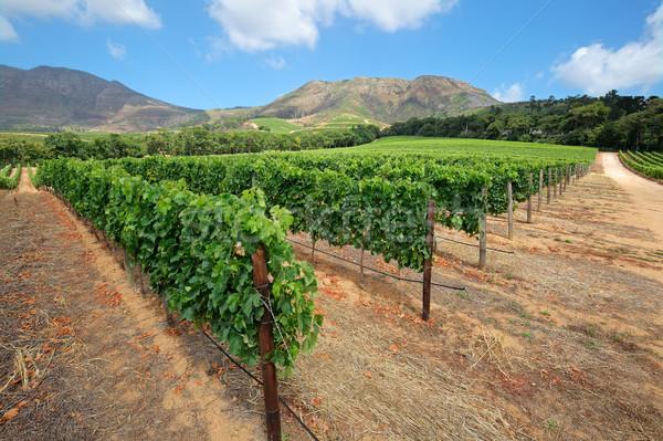 Foto stock: Vinha · paisagem · fundo · montanhas · Cidade · do · Cabo · África · do · Sul