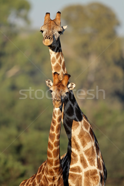 Girafe interaction deux girafes Afrique du Sud africaine Photo stock © EcoPic